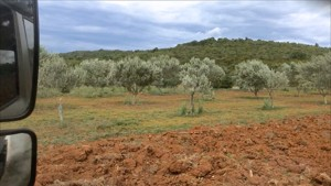 View of terracotta colored soil and olive trees