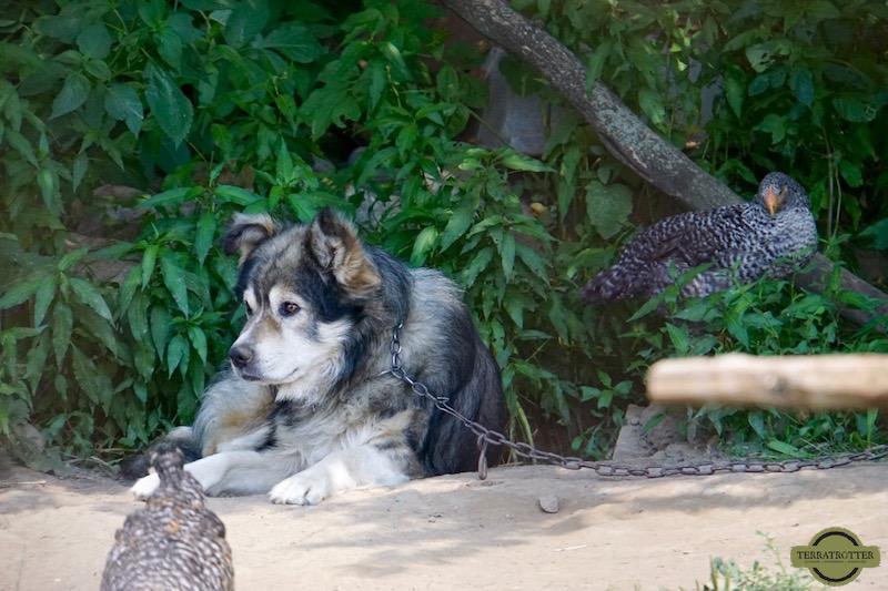 Dog on chain   Romania  Overland travel