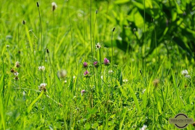 wild-flowers-Romania
