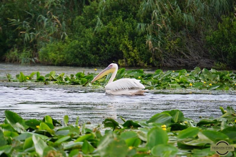 Pelican in Danau Delta Romania