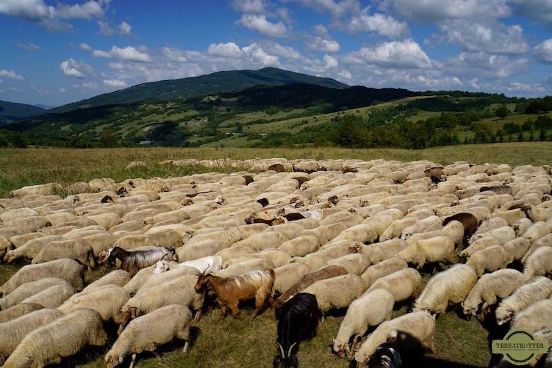 Sheep in Romanian mountains